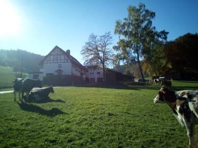Schalsbach Kühe